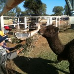 Cassia Kindy Trip to the local Camel Farm